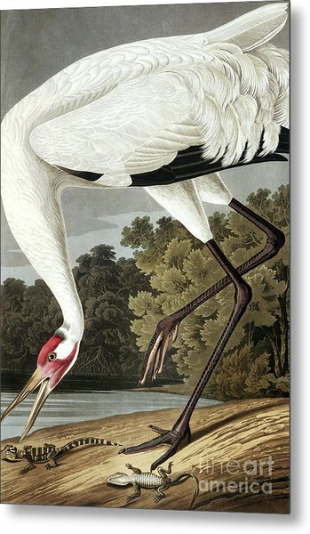 Hooping Crane, Grus Americana By Audubon Metal Print