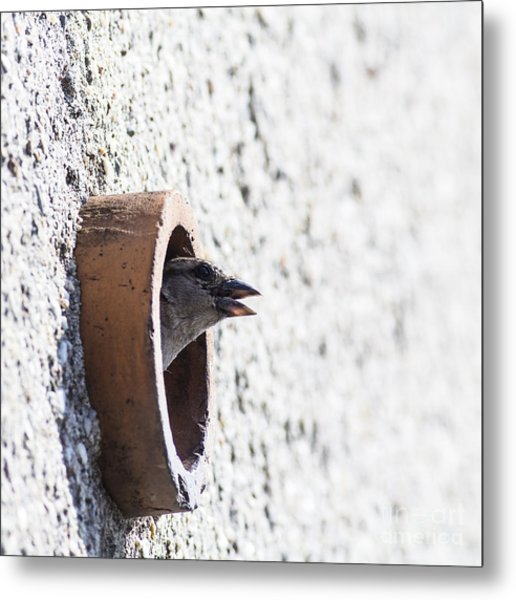 House Sparrow Head Sticking From The Metal Print