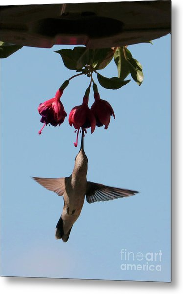 Hummingbird In The Fuchsia Metal Print