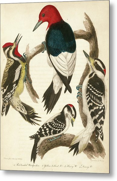 1. Red-headed Woodpecker. 2. Yellow-bellied Woodpecker. 3. Hairy Woodpecker. 4. Downy Woodpecker. Metal Print