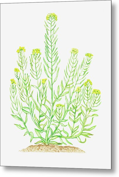 Illustration Of Erysimum Cheiranthoides Metal Print by Dorling Kindersley