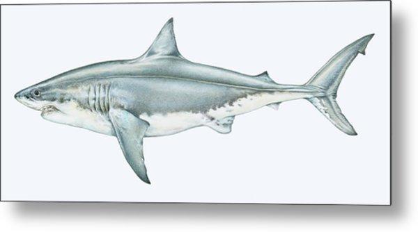 Illustration Of Great White Shark Metal Print by Dorling Kindersley