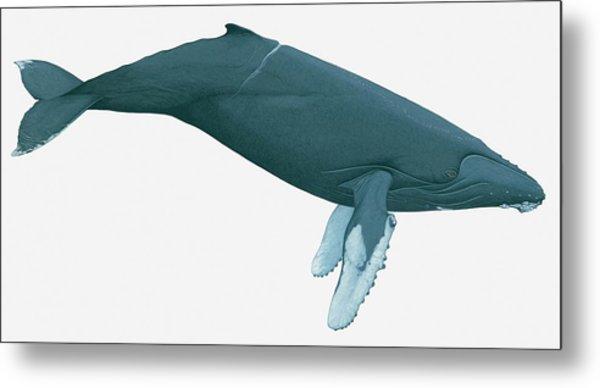 Illustration Of Humpback Whale Metal Print by Dorling Kindersley