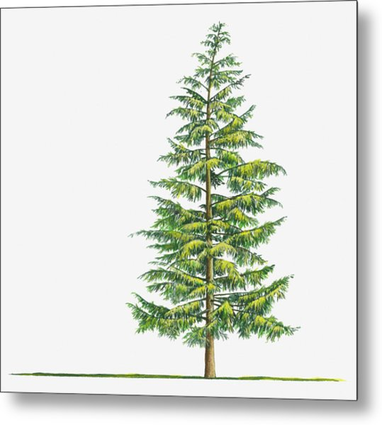 Illustration Of Large Evergreen Tsuga Metal Print by Sue Oldfield
