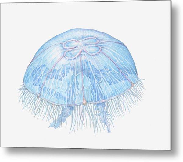 Illustration Of Moon Jellyfish Aurelia Metal Print by Dorling Kindersley