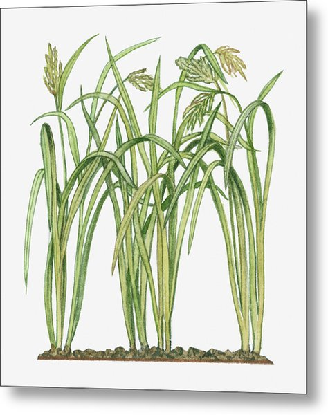 Illustration Of Oryza Sativa Asian Rice Metal Print by Michelle Ross