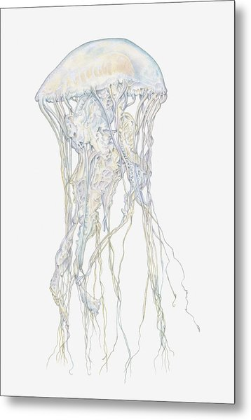 Illustration Of Sand Jellyfish Metal Print by Dorling Kindersley
