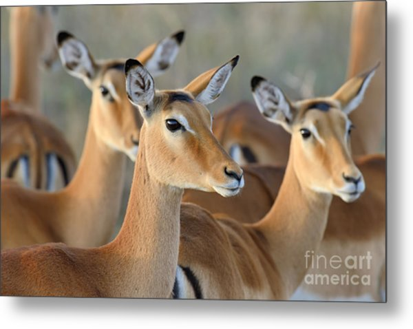 Impala On Savanna In National Park Of Metal Print
