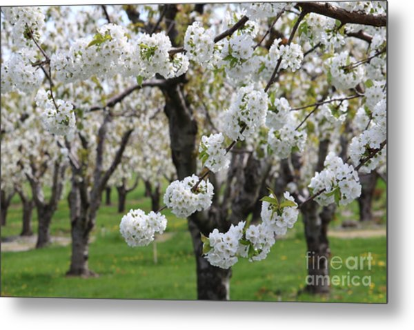 In The Cherry Orchard Metal Print