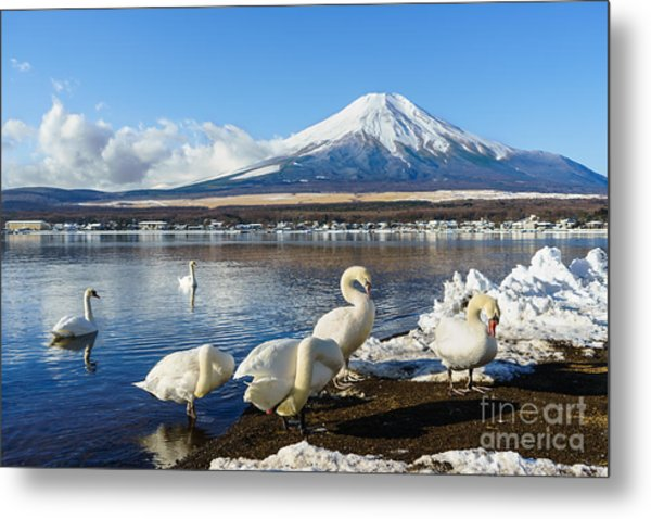 In The Morning, The White Swan In Front Metal Print