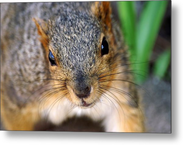 In Your Face Fox Squirrel Metal Print