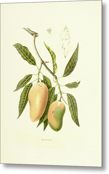 Indian Mango | Antique Plant Metal Print
