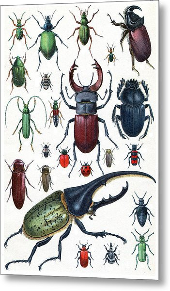 Insects, Beetles And Scarab, Vintage Metal Print