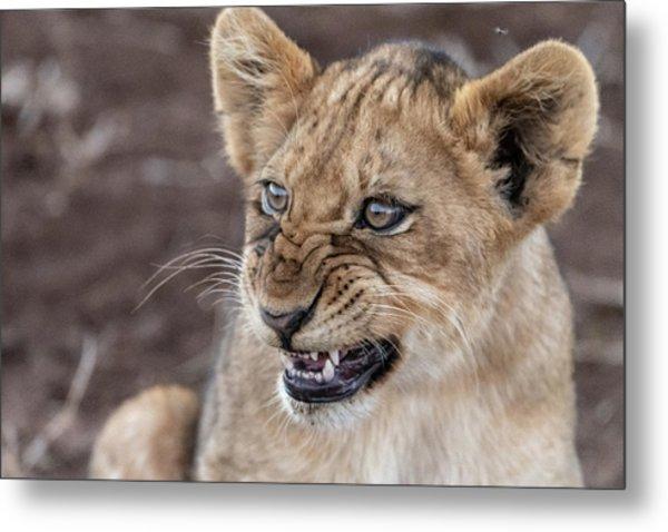 Irritated Lion Cub Metal Print