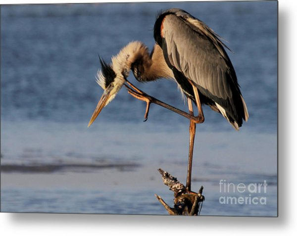 Itchy - Great Blue Heron Metal Print