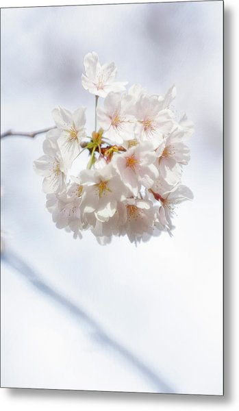 Japanese Cherry Tree Blossom Cluster Metal Print