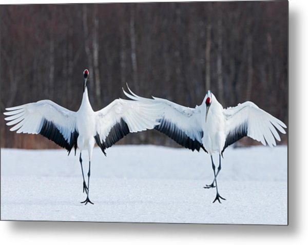 Japanese Cranes Standing Upright Metal Print by Mint Images - Art Wolfe