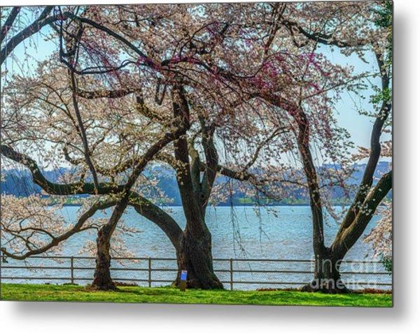 Japanese Flowering Cherry Trees Metal Print