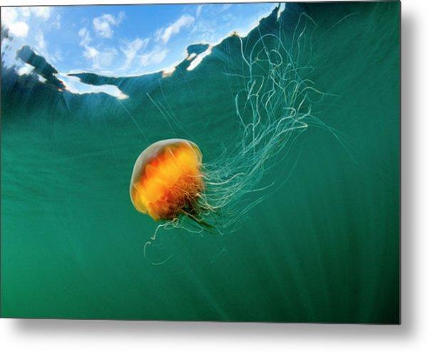 Jellyfish, Alaska Metal Print by Paul Souders