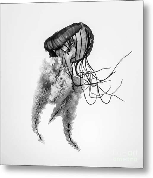 Jellyfish B+w Metal Print