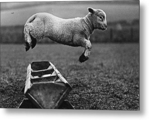Jumping Lamb Metal Print by Fox Photos
