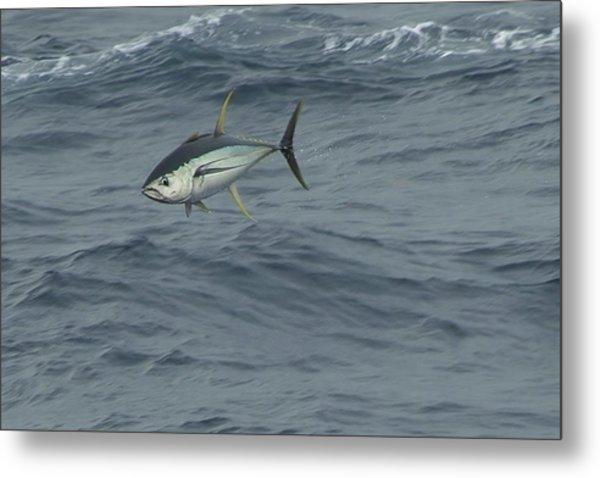 Jumping Yellowfin Tuna Metal Print