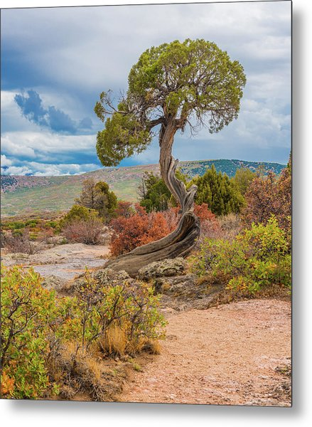 Juniper At Dragon Point Metal Print