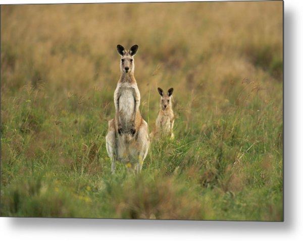 Kangaroos In The Countryside Metal Print