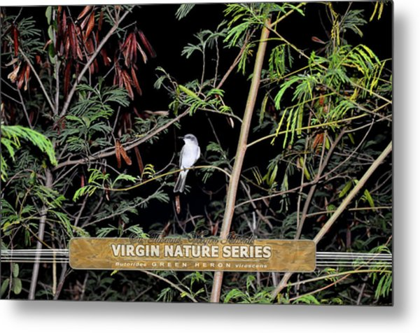 Kingbird In Casha - Virgin Nature Series Metal Print