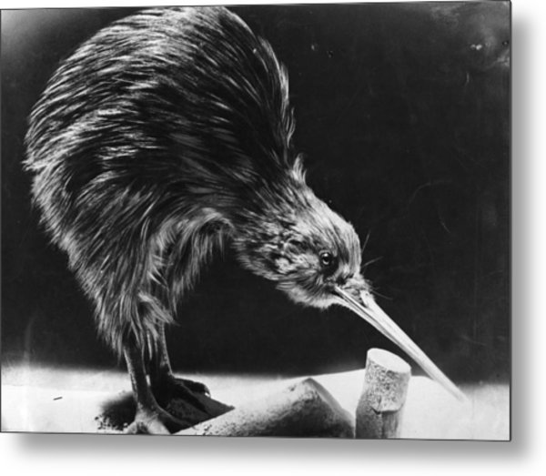 Kiwi Metal Print by Hulton Archive