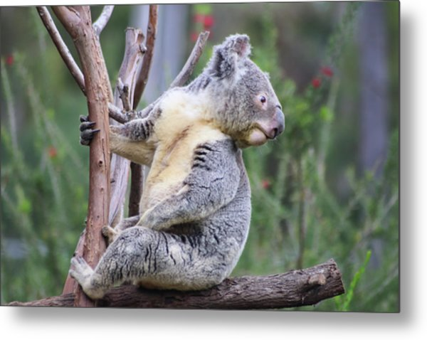 Metal Print featuring the photograph Koala In Tree by Dawn Richards