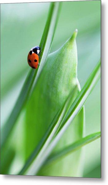 Ladybug Metal Print by Andrew Dernie