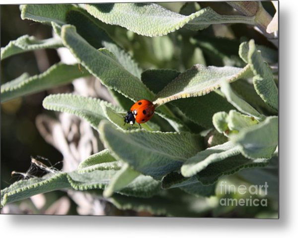 Ladybug In The Sage Leaves Metal Print