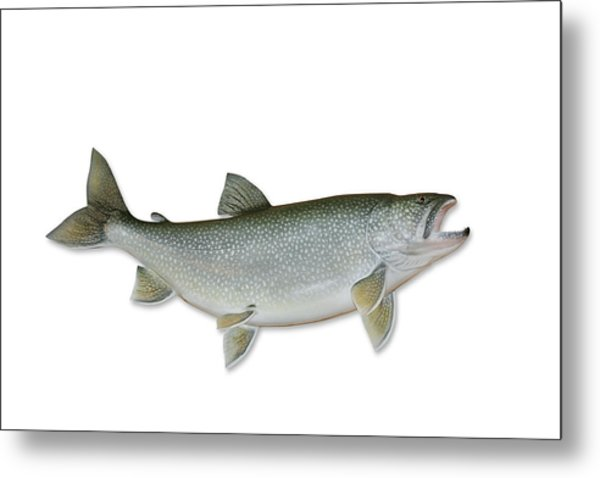Lake Trout With Clipping Path Metal Print by Georgepeters