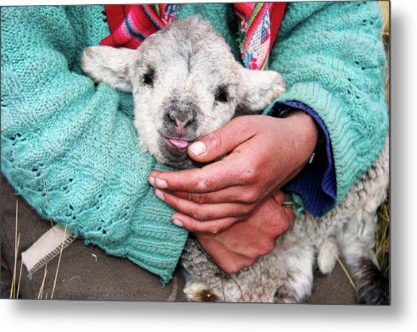 Lamb Sitting On Shepherd-girls Lap Metal Print by Uros Ravbar