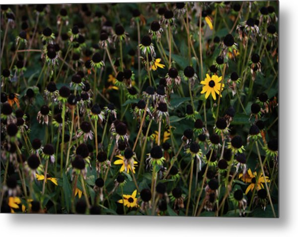 Last Blooms Of A Garden Patch Of Metal Print