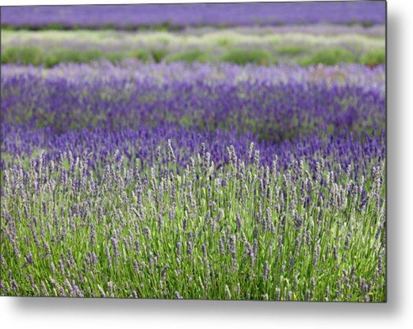 Lavender Metal Print by Andrew Dernie