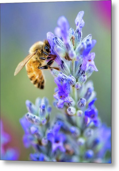 Metal Print featuring the photograph Lavender Bee by Nicole Young