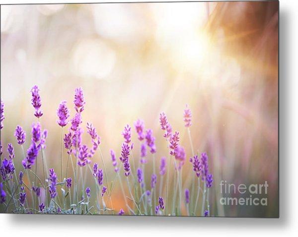 Lavender Bushes Closeup On Sunset Metal Print