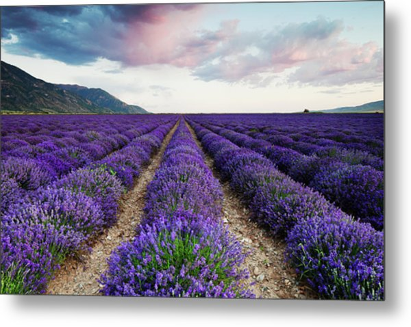 Metal Print featuring the photograph Lavender Field by Nicole Young