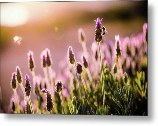 Lavender Sunrise Metal Print
