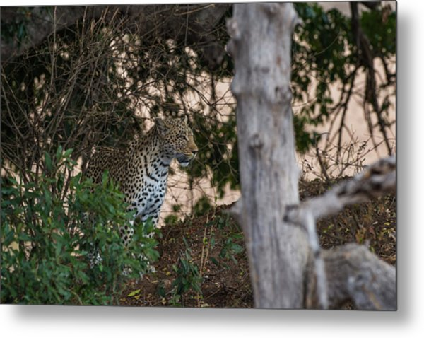 Metal Print featuring the photograph LC1 by Joshua Able's Wildlife