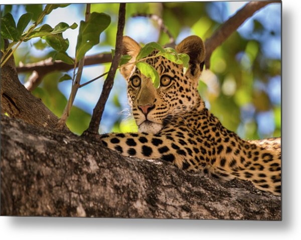 Metal Print featuring the photograph Lc11 by Joshua Able's Wildlife