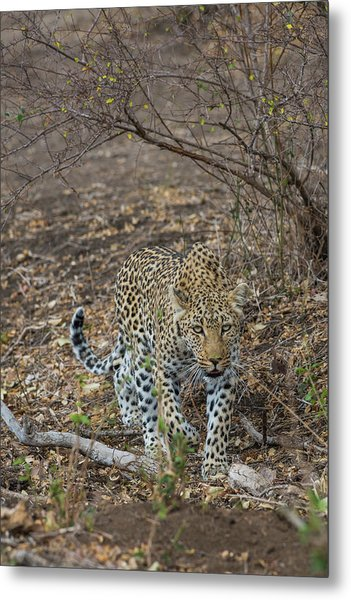 Metal Print featuring the photograph LC2 by Joshua Able's Wildlife