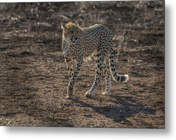 Metal Print featuring the photograph LC3 by Joshua Able's Wildlife