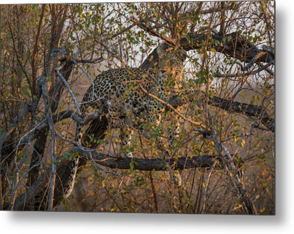 Metal Print featuring the photograph LC6 by Joshua Able's Wildlife