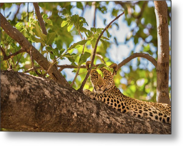 Metal Print featuring the photograph LC9 by Joshua Able's Wildlife