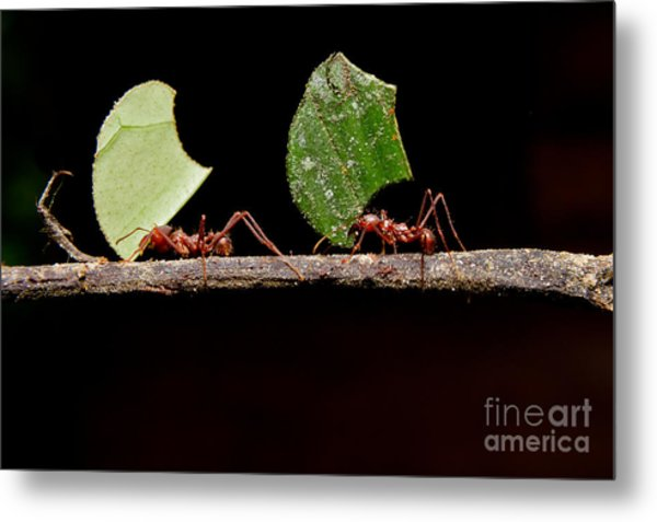 Leaf Cutter Ants, Carrying Leaf, Black Metal Print