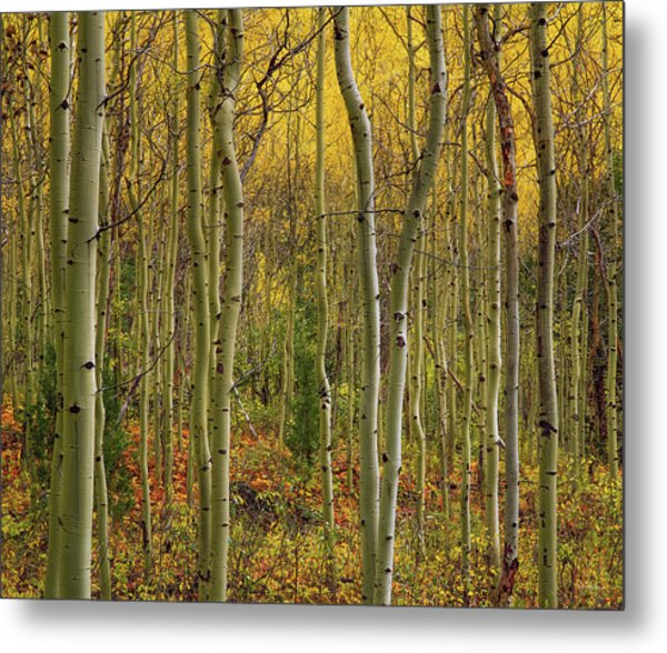 Lemhi Aspens Metal Print by Leland D Howard