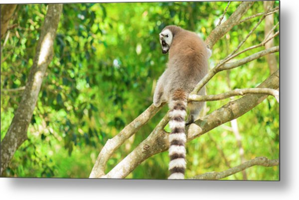 Lemur By Itself In A Tree During The Day. Metal Print